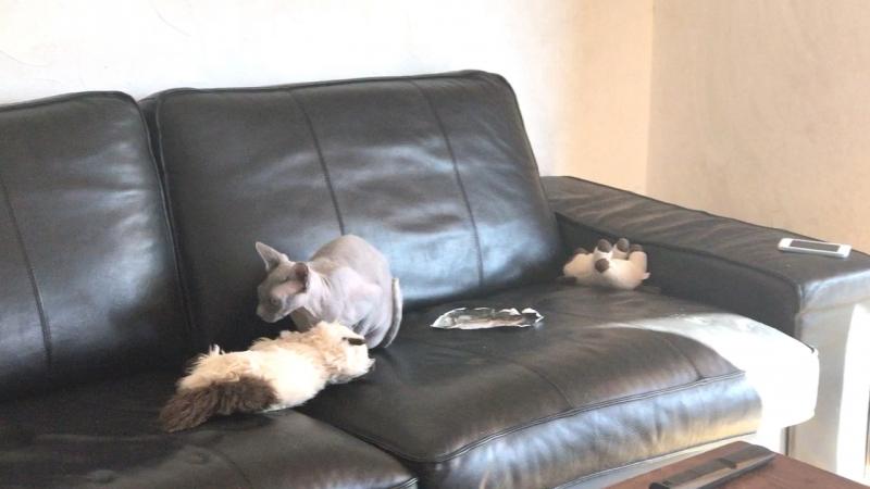 Sphinx sphynx сфинкс кошка котэ кошки кошарик cat חתול chat gato gatto kot goyangi 고양이 बिल्ली billee pişik