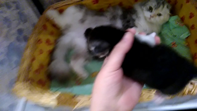 16.10.2016 Котята на продажу