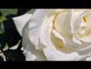 Букет из белых роз!-муз.открытка.