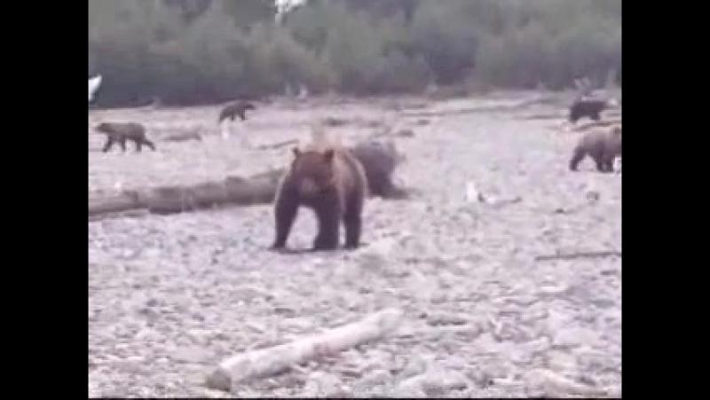 Когда вокруг тебя с друзьями ходит 22 медведя Это не шутка. Их 22!