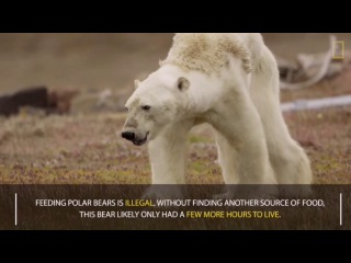 Heart wrenching video shows starving polar bear on Baffin Island, Canada