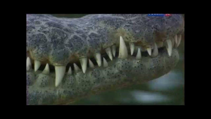Нильские крокодилы Пережившие фараонов