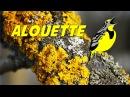 Alouette (instrumental - lyrics video for karaoke) (paroles)