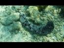 Трепанг, морской огурец Holothuroidea -2
