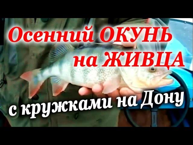 Ловля ОКУНЯ на ЖИВЦА осенью в ноябре кружками на Дону