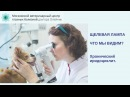Хронический иридоциклит у собаки породы чихуахуа видео щелевой лампой