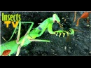 Praying Mantis vs European Wasp Fight to the Death Bug Fights Insect Fights