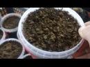 Часть 2 . Сажаем семена ремонтантной малины зюгана из зелёных ягод.