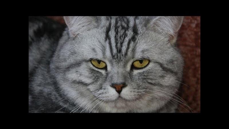 Мохнатые и Пернатые №8 британская короткошерстная кошка