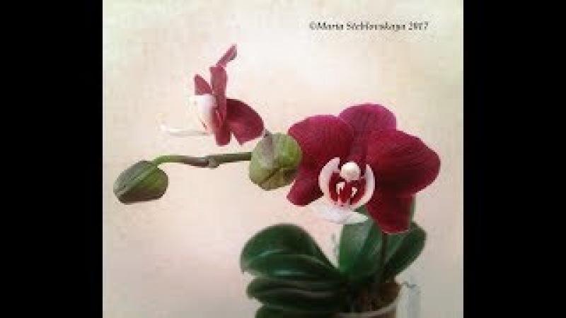 PHALAENOPSIS KAODA TWINKLE. Первое цветение. Описание и особенности ухода