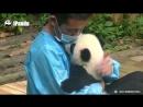 Какие милые панды!
