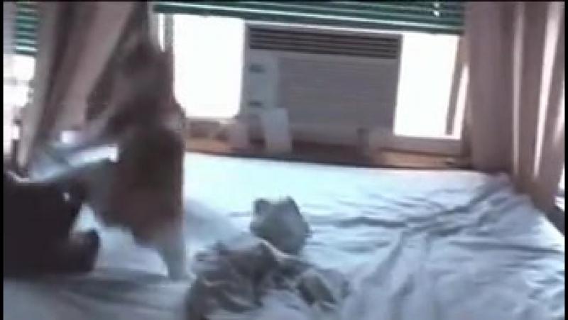 кот чак норис