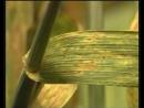 Бурая ржавчина Puccinia recondita и другие ржавчины зерновых культур