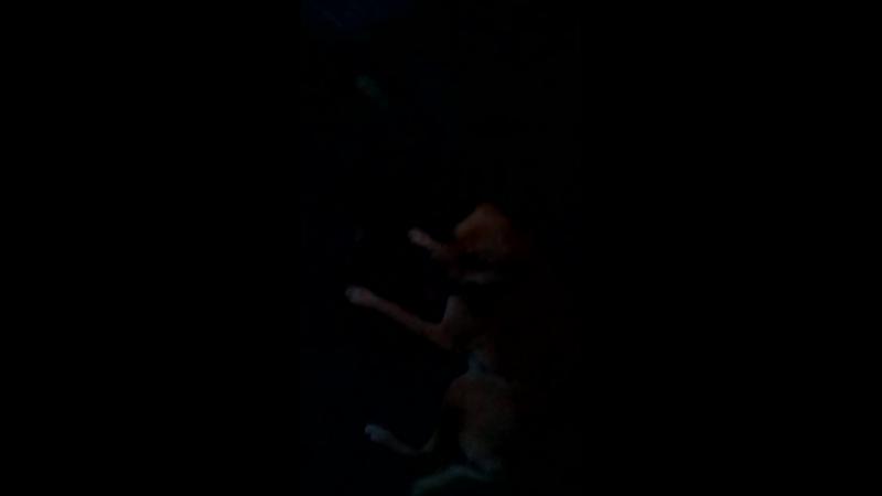 01сент 2017 И Шелли надоело на цепи Поёт жалостливо бегать хочу