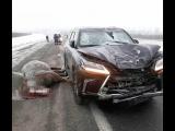 Lexus насмерть сбил лошадь!