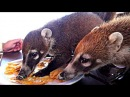 They're earing off our plate - Wild COATI Mundi