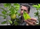 Лимон С. limon Amalphitanum ornamentale