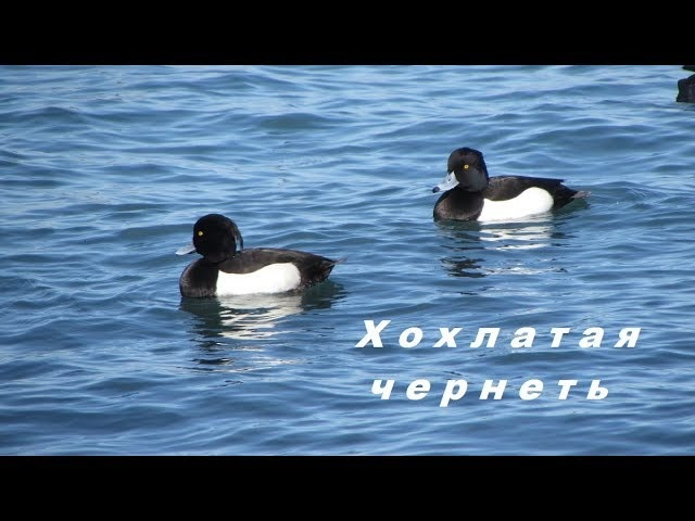 Aythya fuligula Хохлатая чернеть Tufted duck в Феодосии Feodosiya Krym 8 marta 2018
