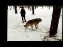 Домашний волк Воланд