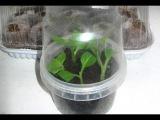 Черенкование (способ с парником+перлит) Шалфея Предсказателей  Salvia Divinorum