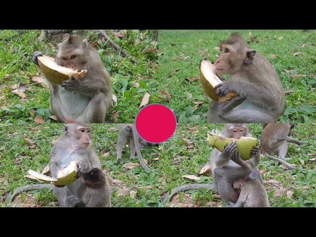 Baby monkey with Mother monkey Eat Coconut Real life of baby monkey Animals Life part 104