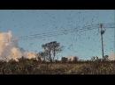 Amazing Starling Murmuration ,starling bird videos 2017