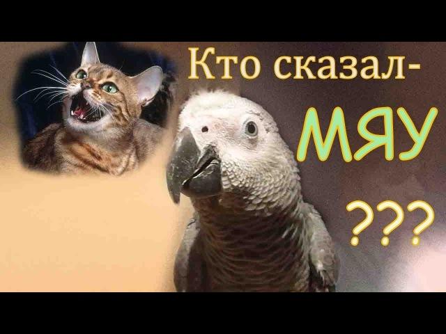 В попугая Жако Петруню вселился кошак)Parrot Jaco depicts a cat)