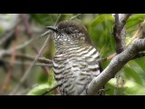 Shining Bronze-Cuckoo  Блестящая бронзовая кукушка  Chrysococcyx lucidus