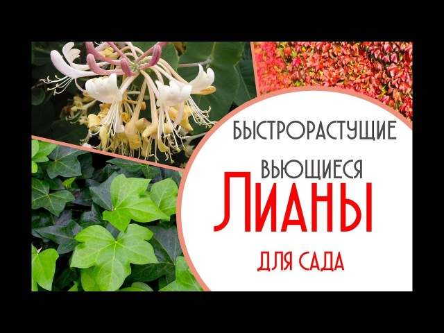Лучшие быстрорастущие вьющиеся растения для сада Садовод