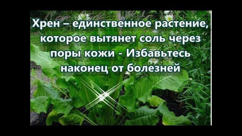Хрен – единственное растение, которое вытянет соль через поры кожи