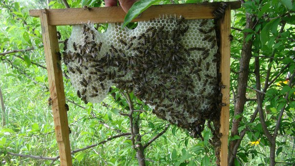 В Центральном районе Хабаровска можно добывать экологически чистый мёд