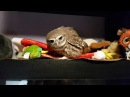 Злая птица Гнусь. Оттачиваю навыки игры в Angry bird. Сова вида домовый сыч.