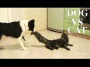 Border collie pulls the cat's tail