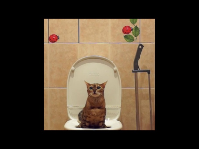 Масик писает (кот смывает за собой в унитазе) (cat uses toilet and flushing)