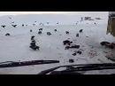 Норильск нашествие россомах