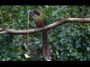 Rufous capped Motmot Красноголовый момот Baryphthengus ruficapillus