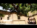 Кипр. Айа-Напа. Шикарное дерево возле монастыря.