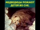 В следующей жизни буду медведицей