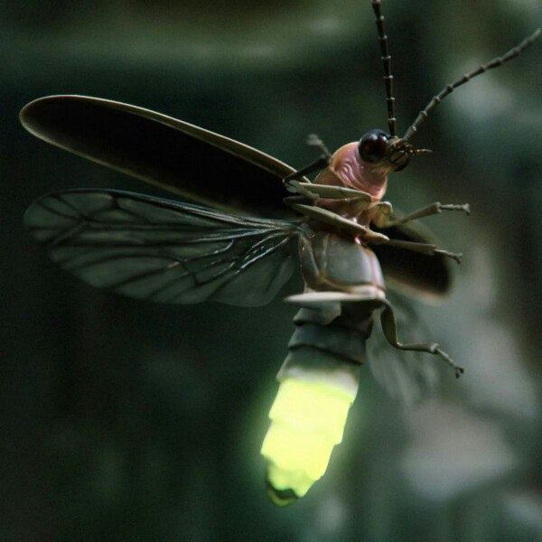 firefly insect range
