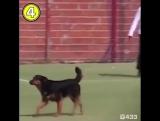 Пес прорвался на поле и забил головой