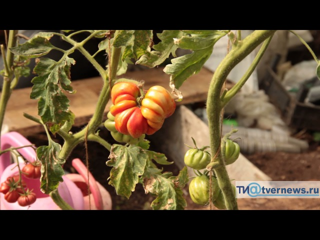Жительница Тверской области вырастила на своем участке папайю и 82 сорта томатов
