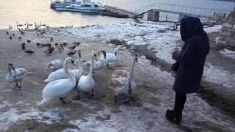 Лебеді, Могилів-Подільський