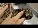 Осмотр домового сыча Пипеца ветеринаром-орнитологом Марией Маркиной