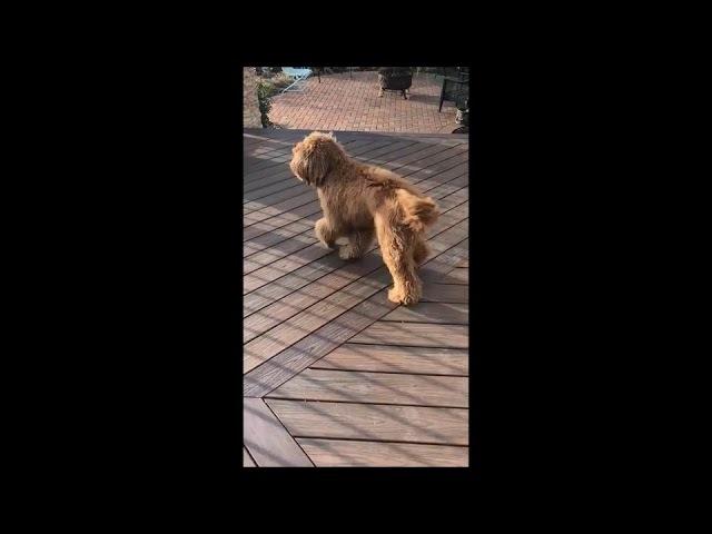 Dog Won't Pee Outside Without Bringing Along Toy - 985716
