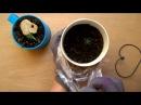 Как вырастить сосну бонсай из семян Первые ростки