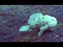 The incredible moment a frogfish with legs WALKS along the seabed in Indonesia