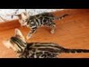 Threecats Denver and Dastin последние игры перед отъездом в новый дом