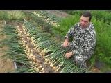 Выращивание озимого лука от посадки до уборки урожая на хранение