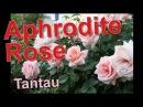 Aphrodite Rose Tantau
