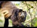 Паралич лицевого нерва у чёрного ревуна Alouatta caraya Parálisis facial en un Mono Aullador ¿Cautiverio o Liberación